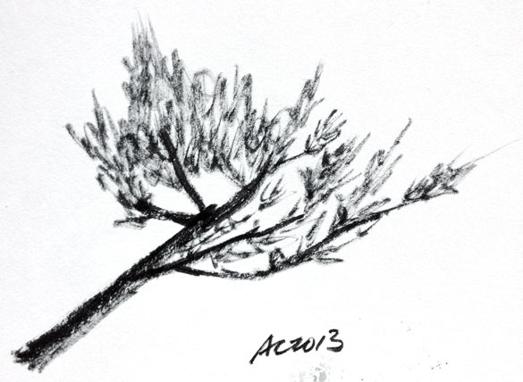 Branch sketch by Amy Crook