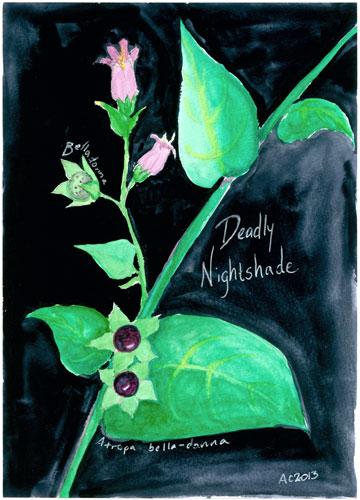 Deadly Nightshade, watercolor by Amy Crook